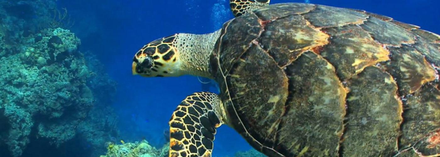 Sköldpadda simma