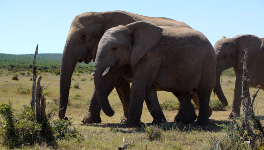 Elefanter.jpg
