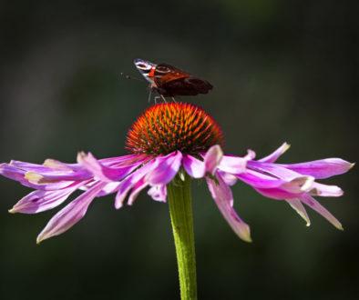 Påfågelöga på Rudbeckia_0079_webb